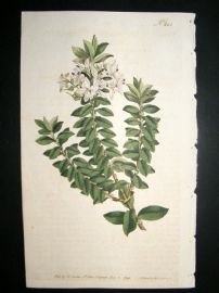 Curtis 1793 Hand Col Botanical Print. Cross Leaved Speedwell 242